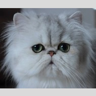 Chat Adopter Com Amicale Europeenne Du Persan Et Exotic Shorthair